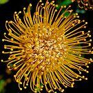 Leucospermum Flower by Penny Smith