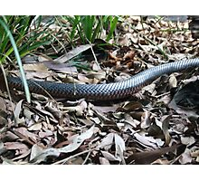 I'm Going Red-Bellied Black Snake(Pseudechis porphyriacus)  Photographic Print