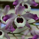 Cooktown Orchids? by Chris Cohen