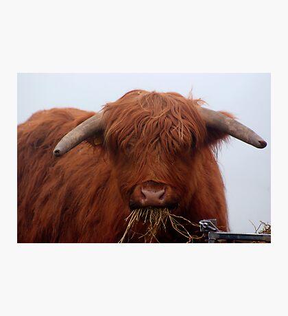 Freddy the Bull Photographic Print