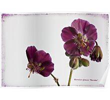 """Geranium phaeum """"Samobor"""" Poster"""