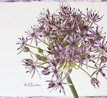 Allium by inkedsandra