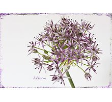 Allium Photographic Print