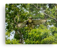 young red- tail Metal Print