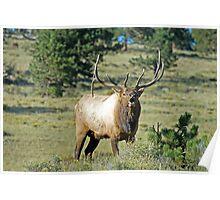 Elk, Rocky Mountain National Park Poster