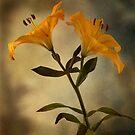 Yellow Lily on stem by eddiej