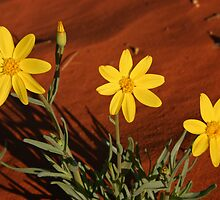 Annual Yellowtop by Blue Gum Pictures