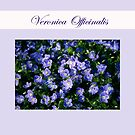 Veronica Officinalis  by SmoothBreeze7