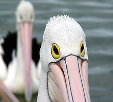 Pelican Eyes by yolanda