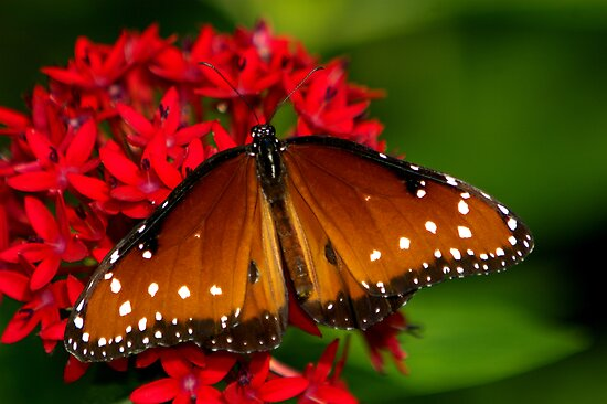 Queen ~ Danaus gilippus by Lisa G. Putman