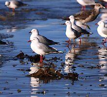 Silver Gulls, Roches Beach,Tasmania by David Jamrozik