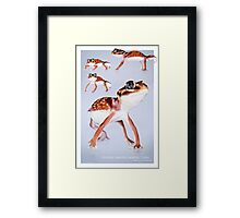 Western Smooth Knobtail Gecko [Nephrurus levis occidentalis] Framed Print