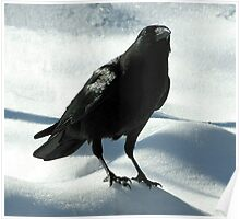 Crow on Snow Poster