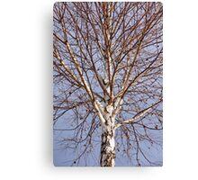 Birch tree against blue sky Canvas Print