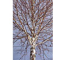 Birch tree against blue sky Photographic Print