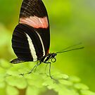 Postman Butterfly (Heliconius melphomene) by Mirka Rueda Rodriguez