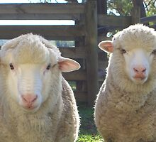 Happy Lambs by springplains