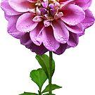 Pink Dahlia in the Rain by Susan Savad