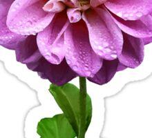 Pink Dahlia in the Rain Sticker