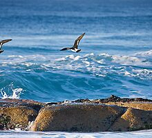 Pied Oyster Catchers by Mark Cowles