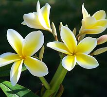 "Plumeria - Sweet Fragrance by Lenora ""Slinky"" Regan"