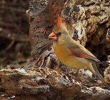 Female Cardinal by Richard G Witham