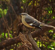 Northern Mockingbird by Richard G Witham