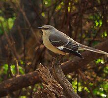 Northern Mockingbird by Richard G Witham