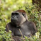 Gorilla by margotk
