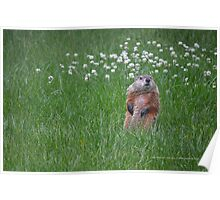 Marmota Monax - Groundhog | Center Moriches, New York  Poster
