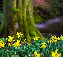 Daffodils of Cumbria by darkydoors