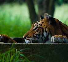 Tiger by Viv van der Holst