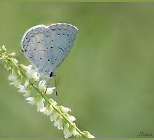 Pretty Butterfly by Cargomom