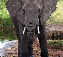 Young African Elephant, Serengeti National Park, Tanzania.  by Carole-Anne