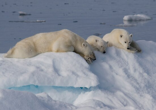 Bears On Ice 2 by Steve Bulford