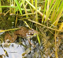 Frog Swimming in the Swamp - Nature Photography by Barberelli by Barberelli