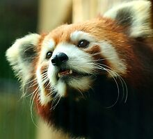 Xia Red Panda by ANWPhotography