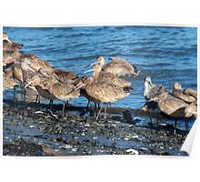 Marbled Godwit  •  Point Reyes National Seashore Poster