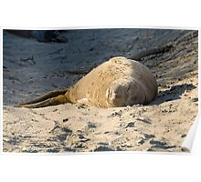 Elephant Seal  •  Ano Nuevo State Reserve, California Poster