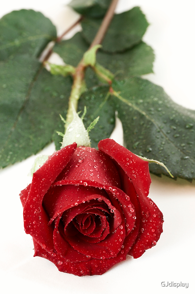 wet rose by GJdisplay