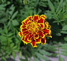 Marigold Slendor by Mark Dugan
