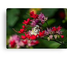Caper White Butterfly - Male Canvas Print