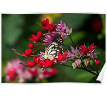 Caper White Butterfly - Male Poster