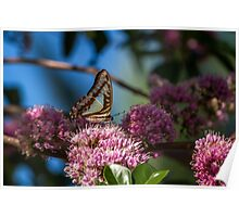Pale Triangle Butterfly, Wings Closed Poster