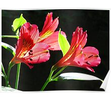 Liliums - Touching the Light  Poster