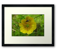 buttercup with insect Framed Print