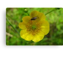 buttercup with insect Canvas Print