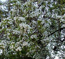 Pear Tree Blossoms by Freedom