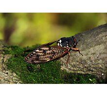 Semi Cicada Photographic Print