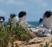 Crested Terns Penguin Island (3) Sticker
